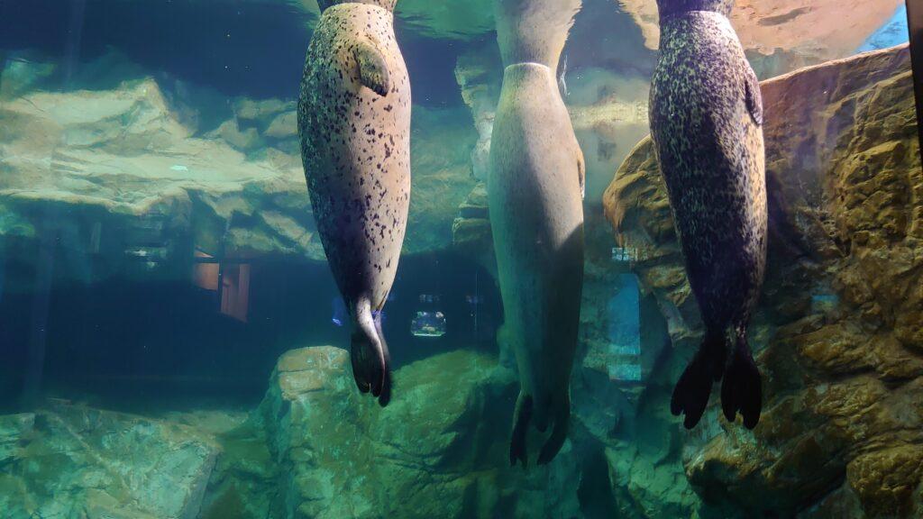 海響館のアザラシ